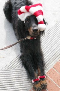 Just so Lillie doesn't feel left out...here is a picture of Lillie dressed up for xmas. I don't really dress my dogs but Lillie went with me to ring the bell and collect money for the Salvation Army..people can't resist her!